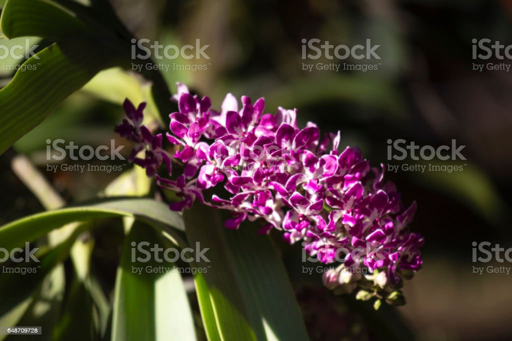 wild purple orchid blossoms stock photo