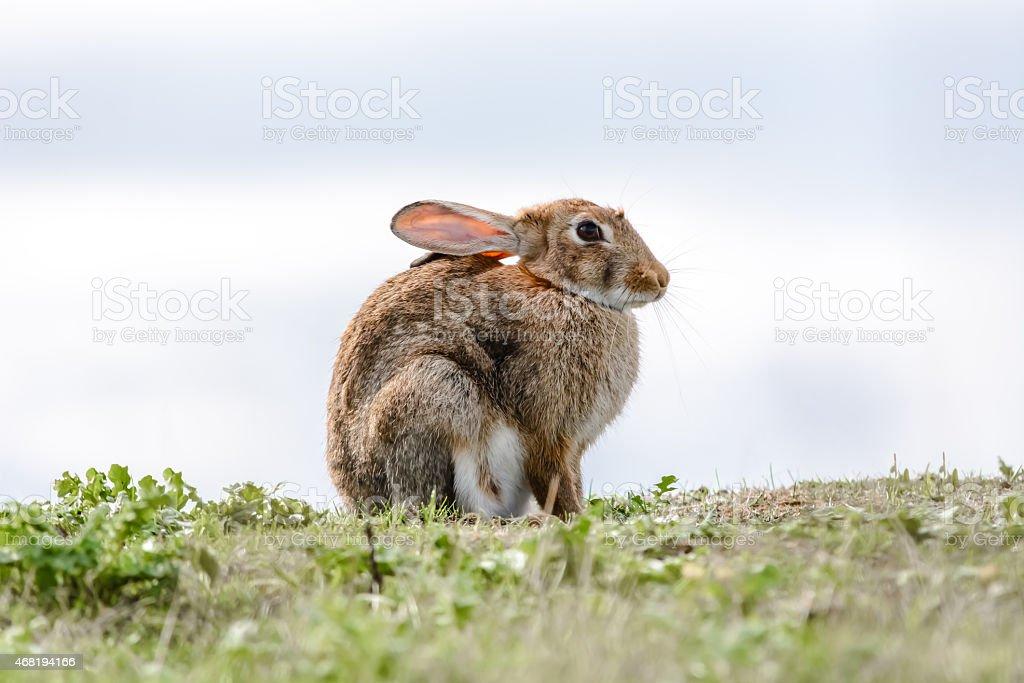 Wild Rabbit on Skyline stock photo