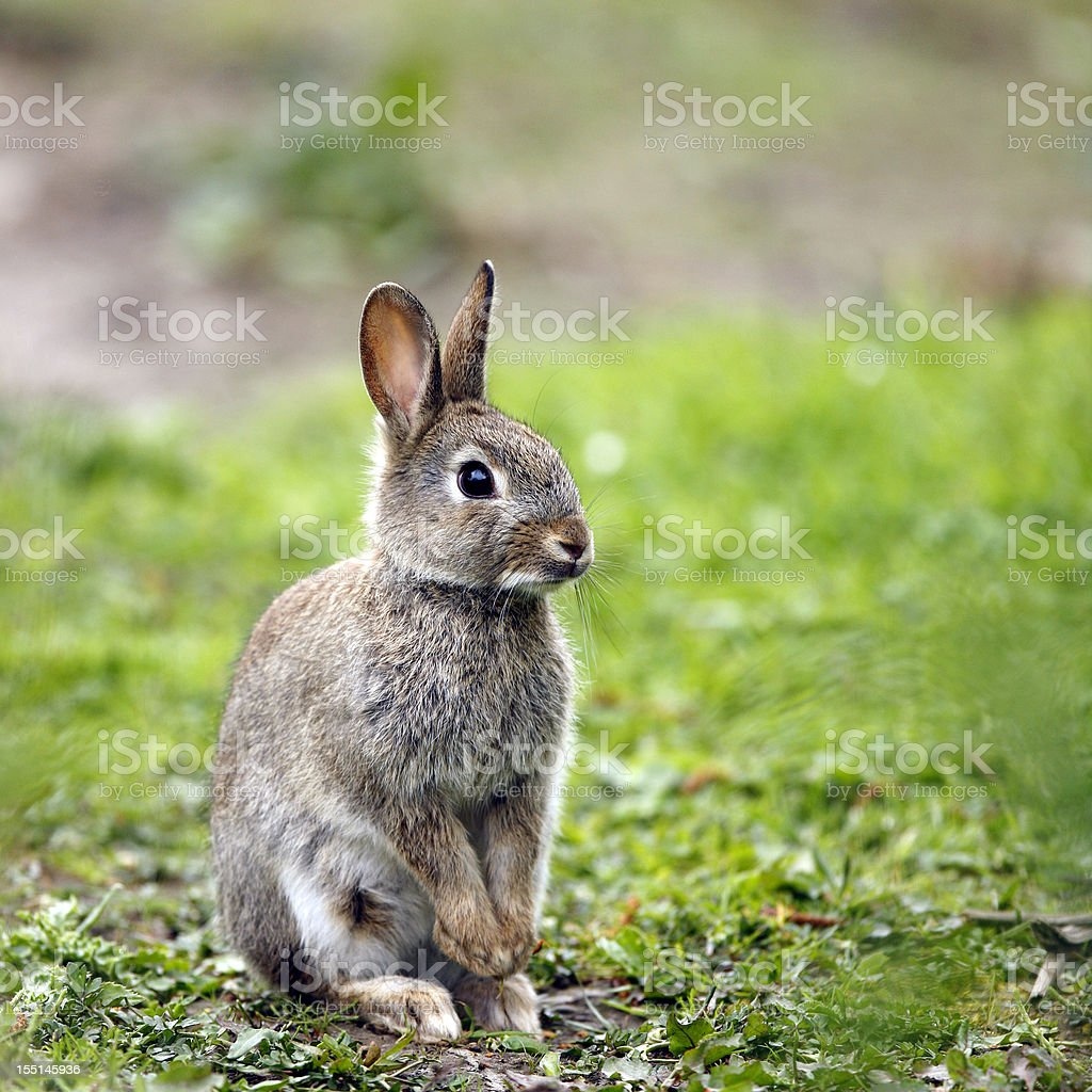 Wild Rabbit (Oryctolagus cuniculus) royalty-free stock photo