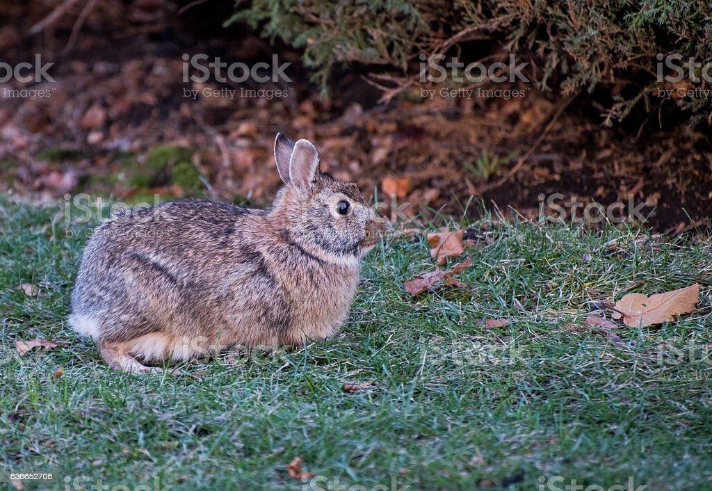 Wild Rabbit stock photo