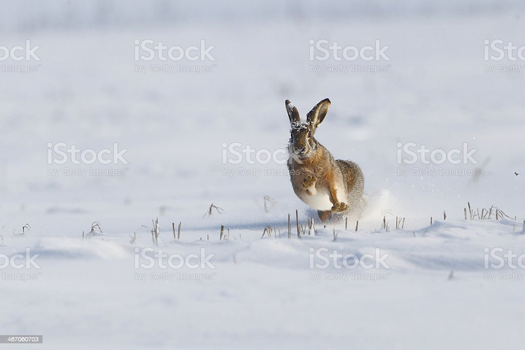 Wild rabbit running in the snow stock photo