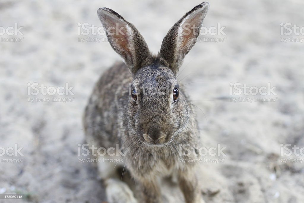 Wild rabbit with long ears and lively eyes stock photo