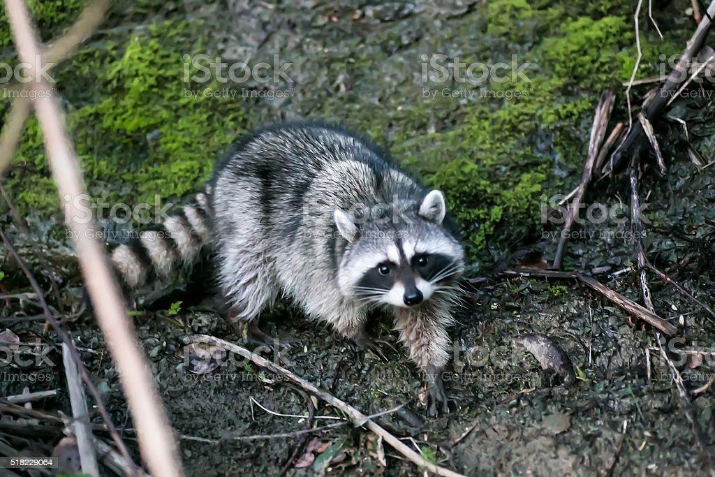 wild raccoon looks up stock photo