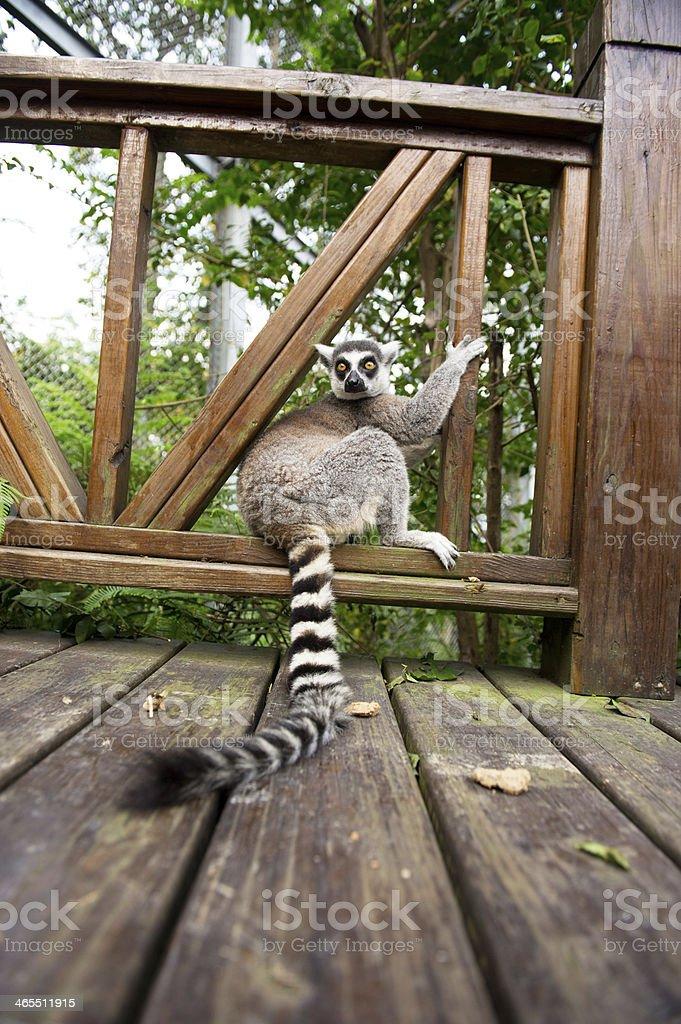 Wild Raccoon stock photo