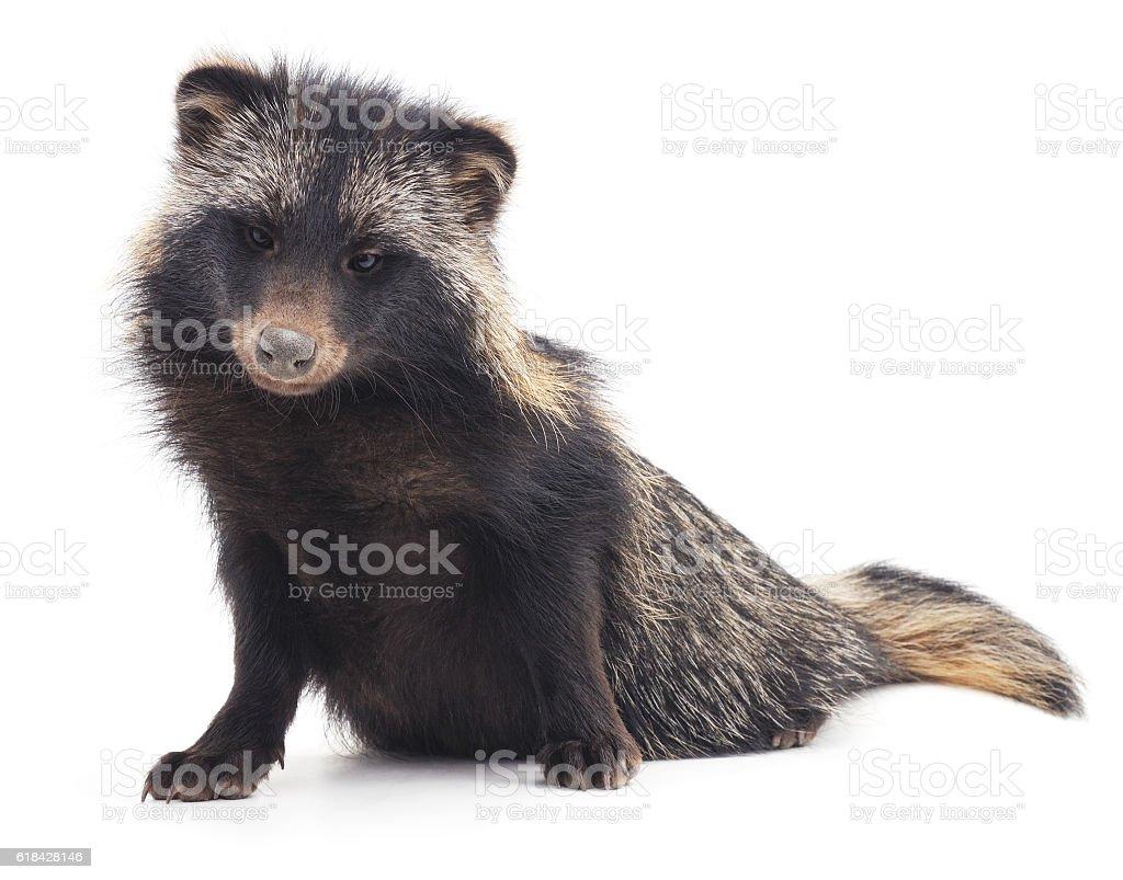 Wild raccoon. stock photo
