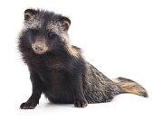 Wild raccoon.