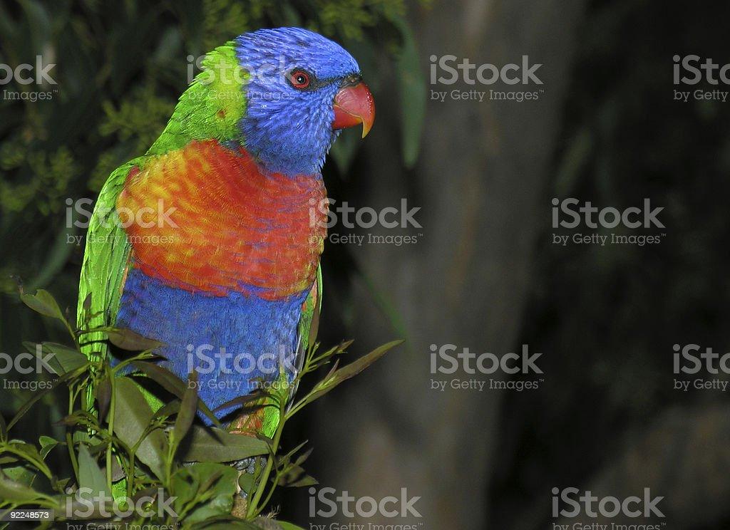 Wild rainbow lorikeet in tree stock photo