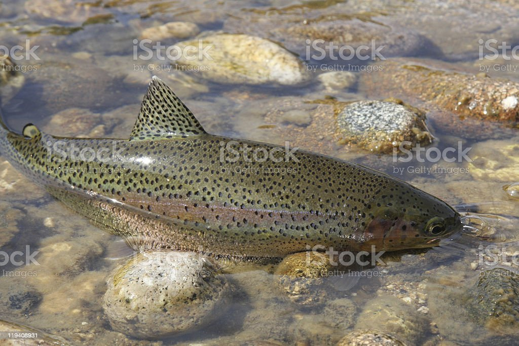 Wild rainbow trout caught on a fly stock photo