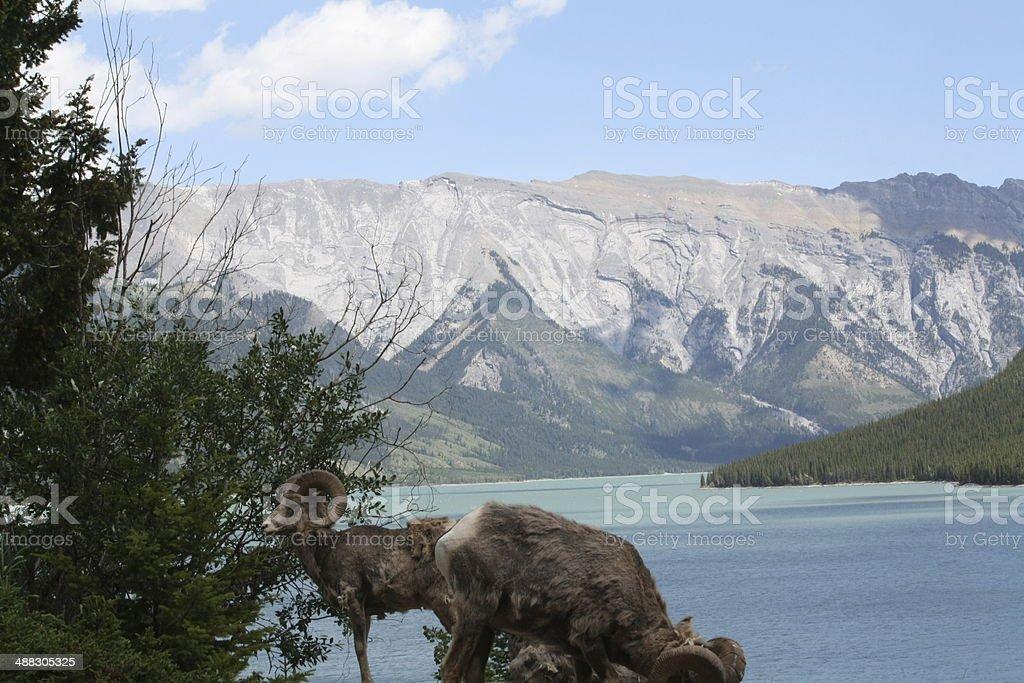 wild Ram in Banff royalty-free stock photo