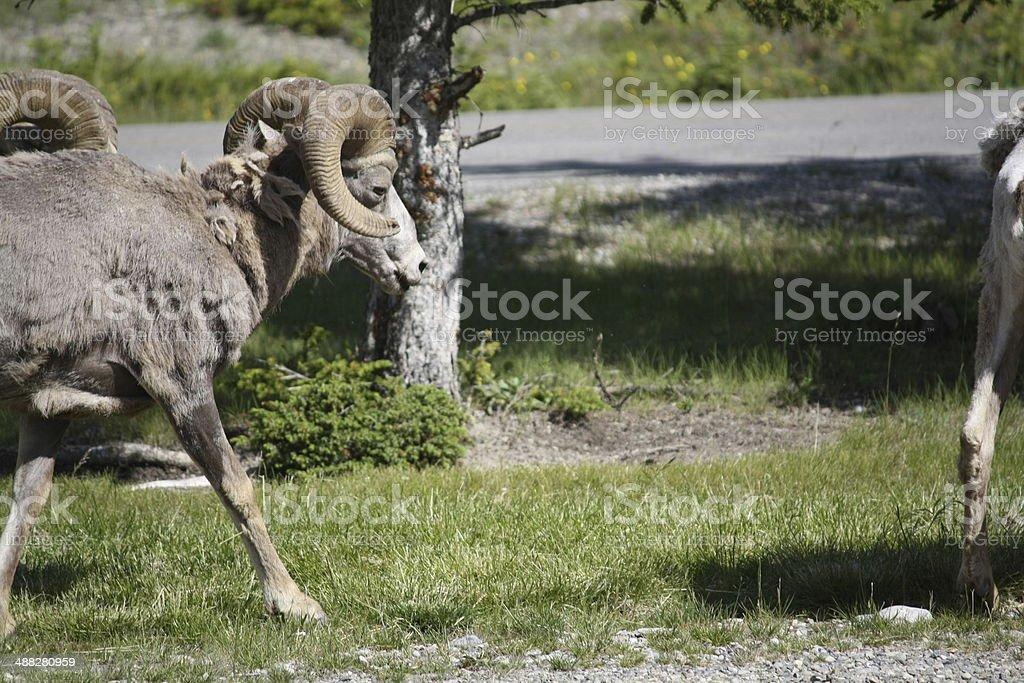wild Ram royalty-free stock photo