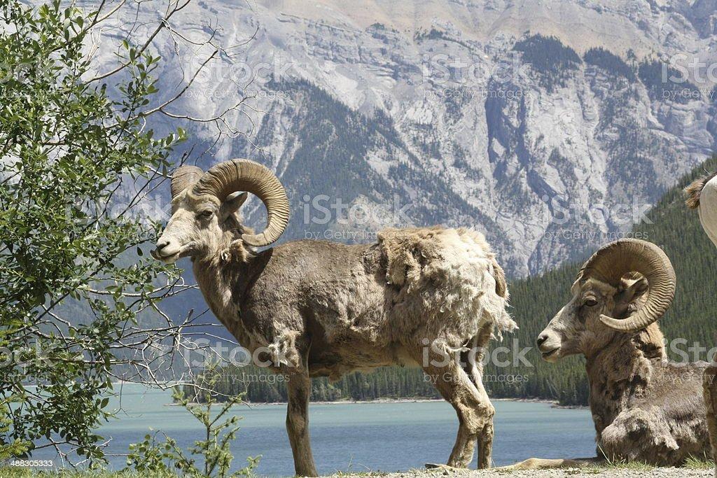 wild Ram stock photo