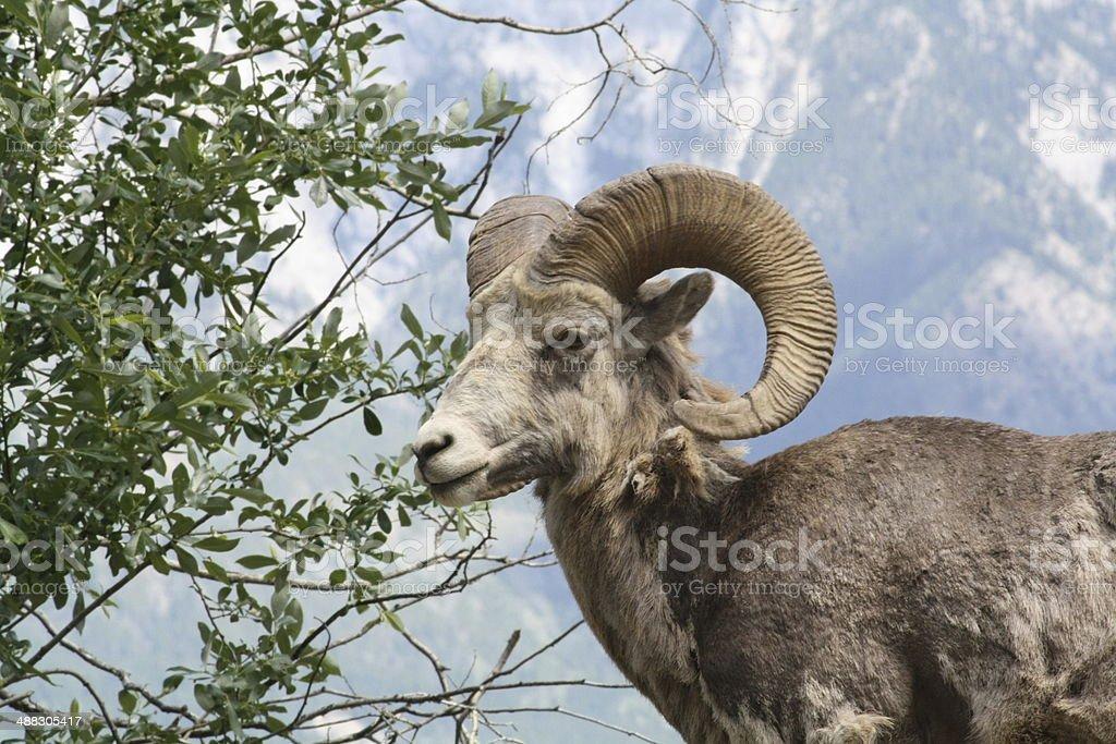 wild Ram profile stock photo
