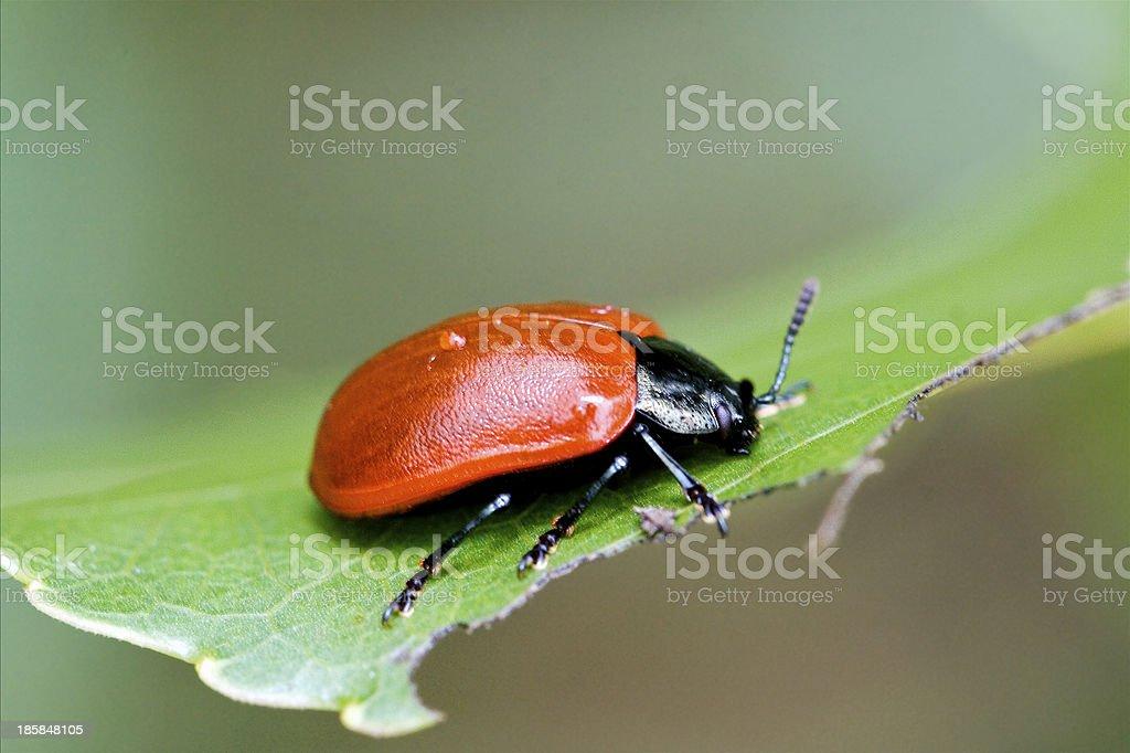 wild red cercopidae vulnerata coccinellidae anatis royalty-free stock photo