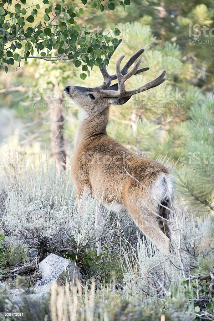 Wild Red Deer with Antlers Stands on Mountainside stock photo