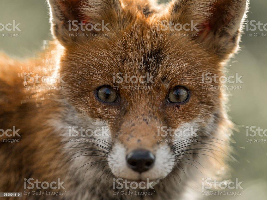 Wild Red Fox stock photo