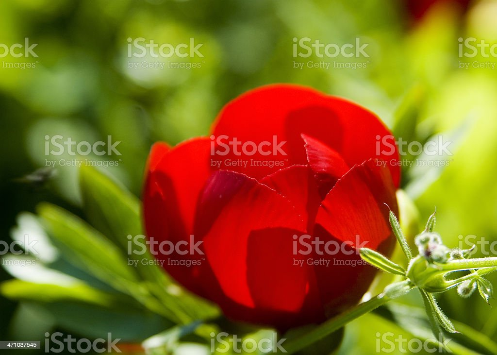 Wild red peony stock photo