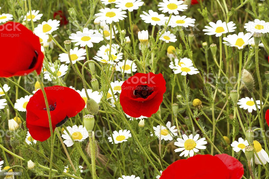 Wild red poppy and white daisy flowers . royalty-free stock photo