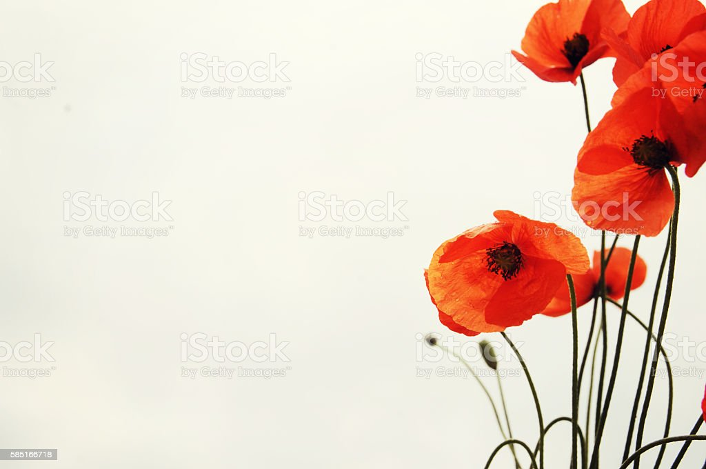 Wild red poppy stock photo