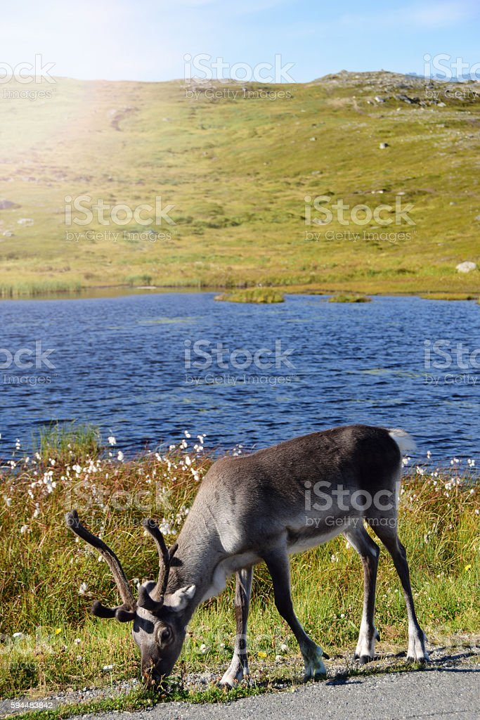 Wild Reindeer in Hammerfest, Norway stock photo