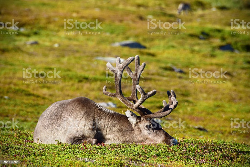 Wild Reindeer Resting in Summertime Arctic Norway stock photo