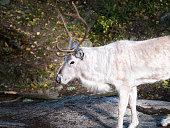 Wild Reindeer - Sweden