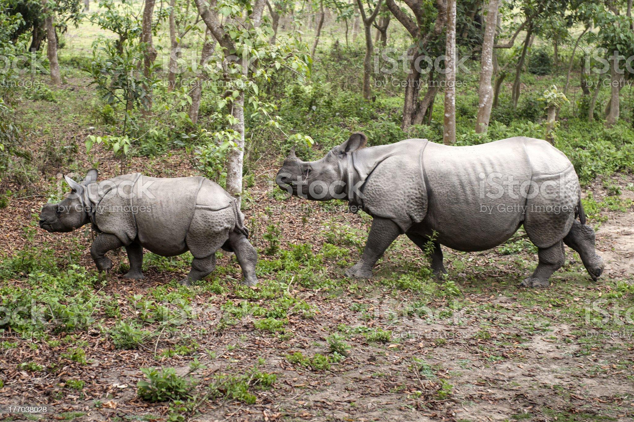 Wild Rhinoceros in Chitwan, Nepal royalty-free stock photo