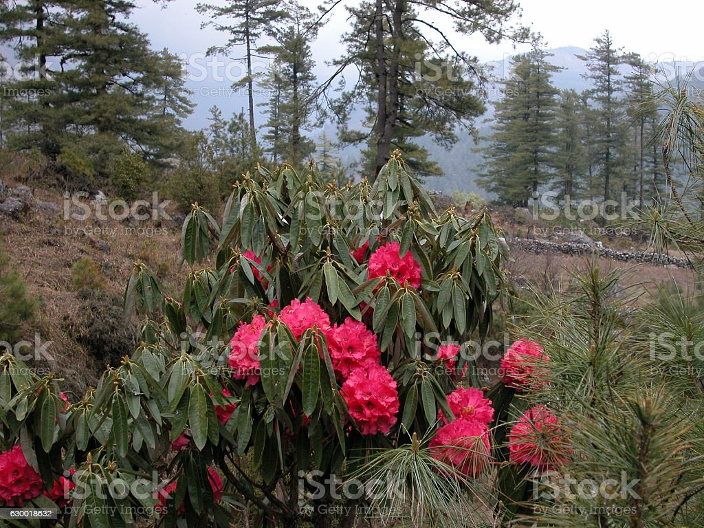 Wild Rhododendron in Nepalese mountains stock photo