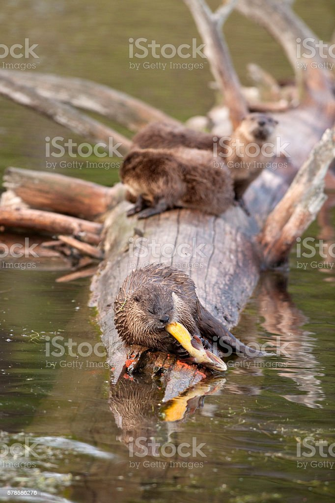 Wild river otter trio eat cutthroat trout Yellowstone NP Wyoming stock photo