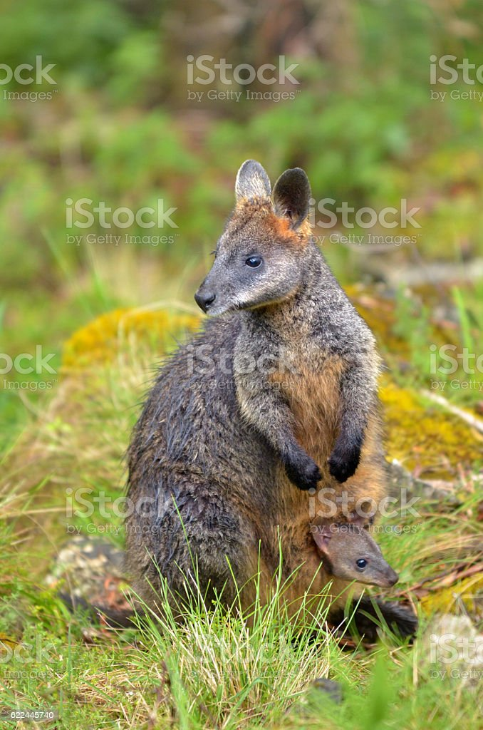 Wild Rock-wallaby mother and Joey stock photo