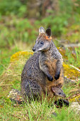 Wild Rock-wallaby mother and Joey