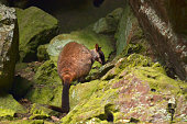 Wild Rock-wallaby sit on a rock in a cave