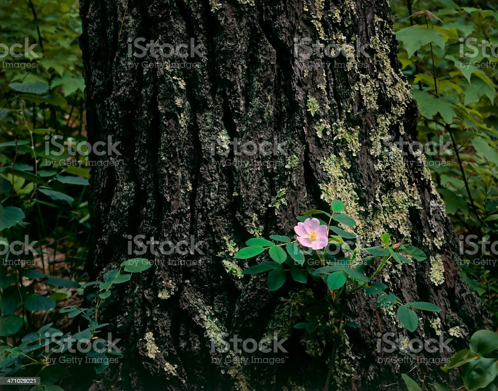 Wild Rose and Norway Pine royalty-free stock photo
