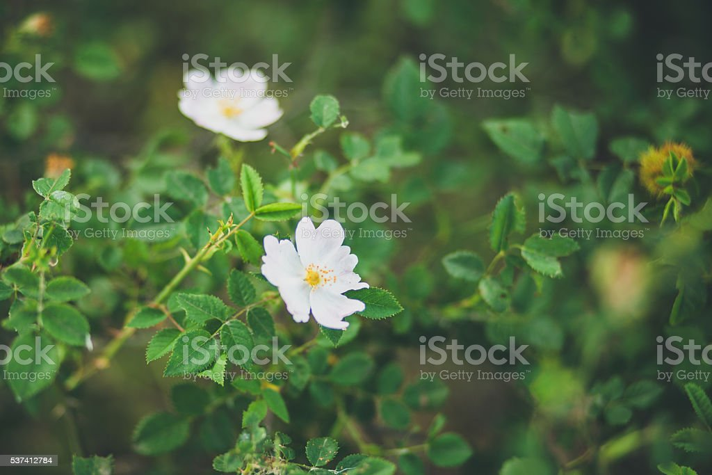 Wild rose blooming stock photo