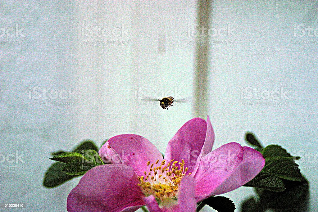 Wild rose blossom with a wasp landing on it stock photo