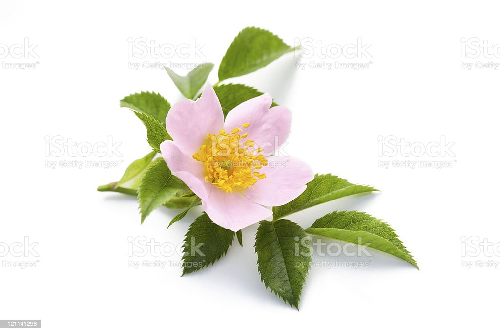 Wild rose blossom with leaves on a white background stock photo