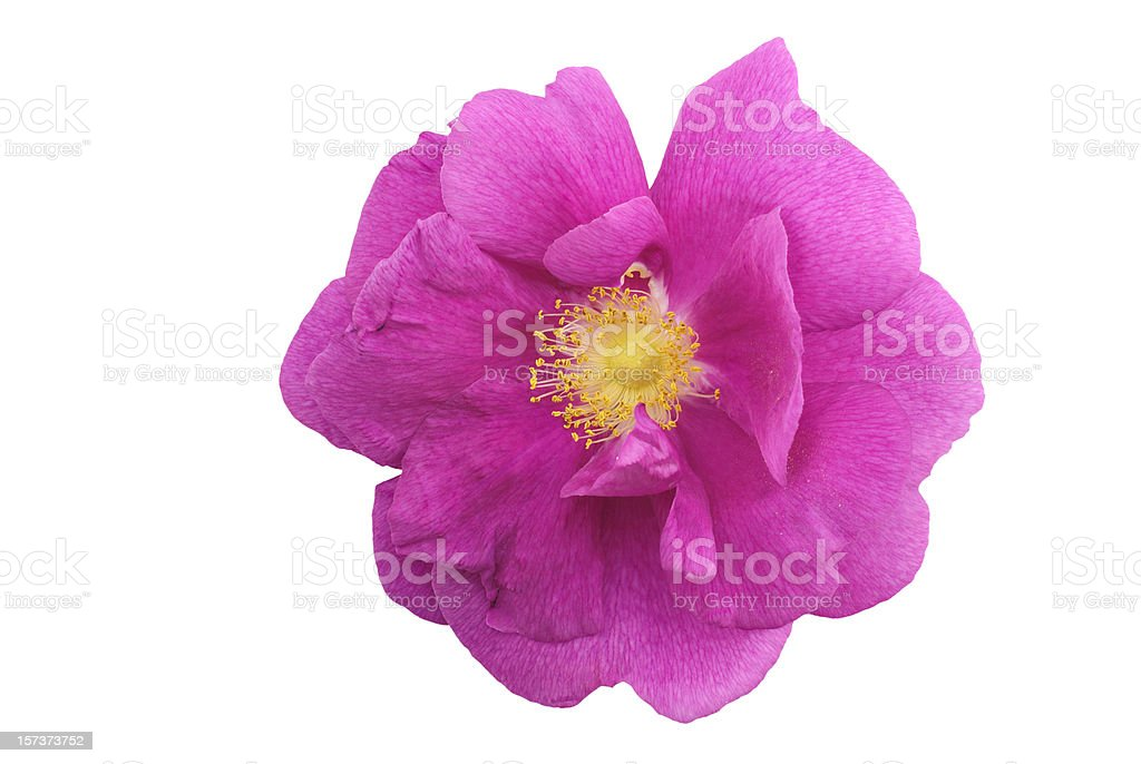 wild rose flower head isolated on white royalty-free stock photo