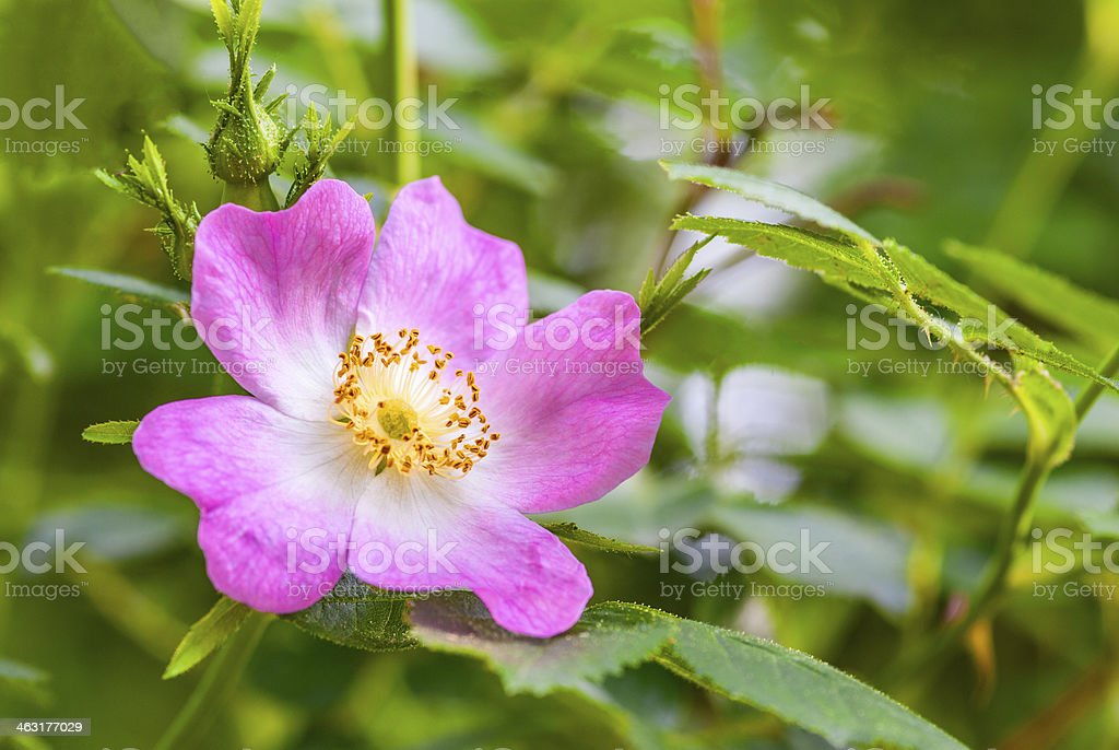 Wild rose in nature royalty-free stock photo