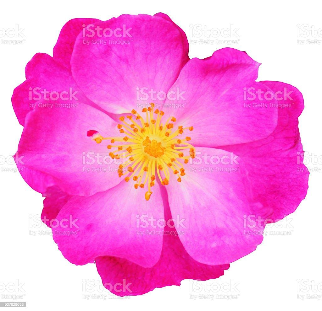 Wild Rose isolated on white background stock photo
