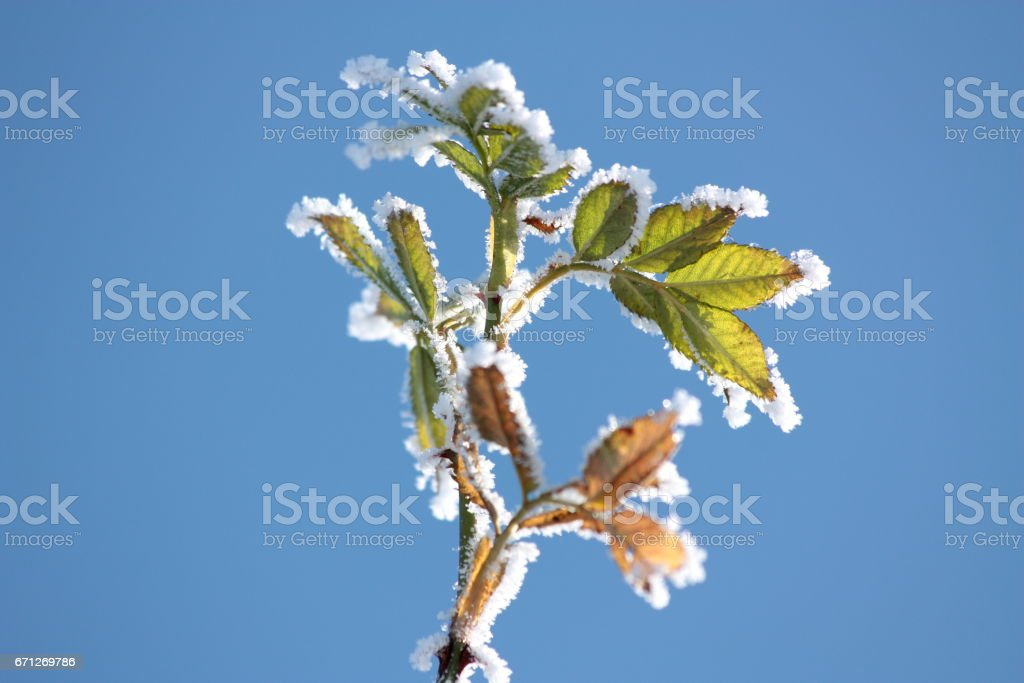 Wild rose leaves in winter stock photo