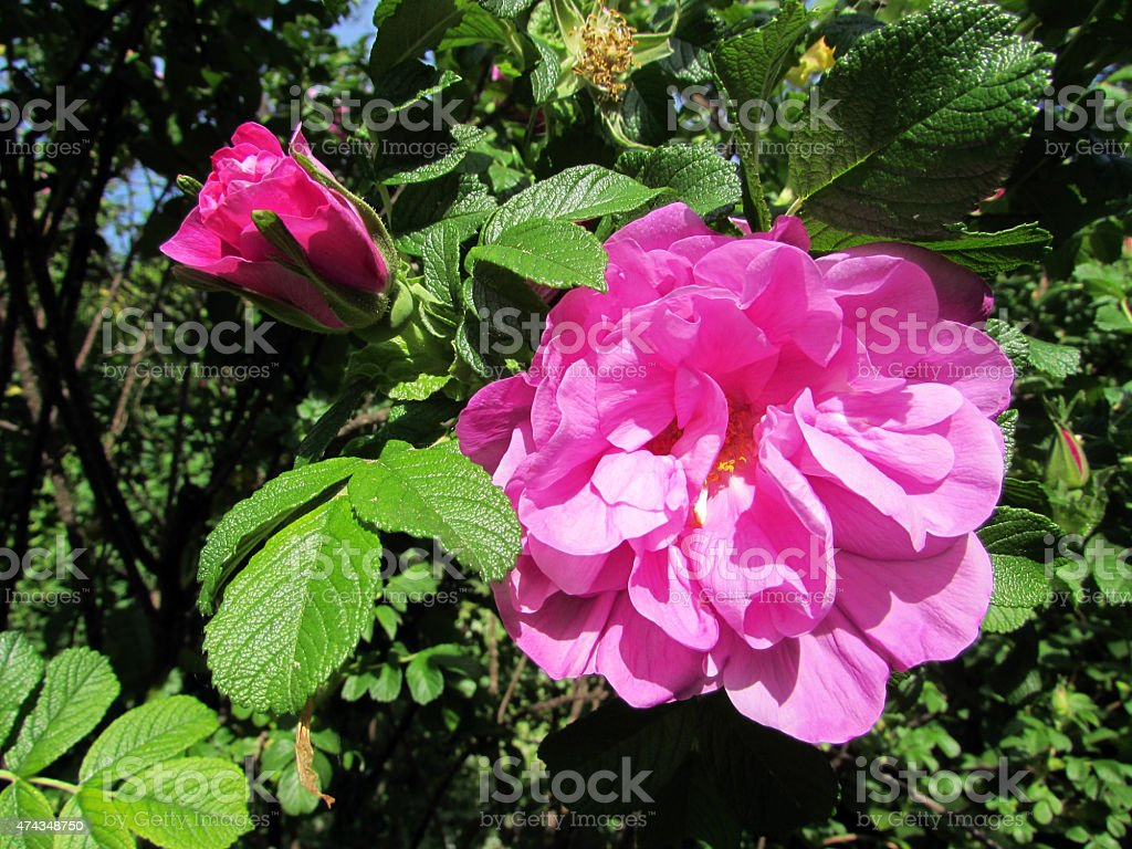 Wild rose or Wild Blue Yonder stock photo