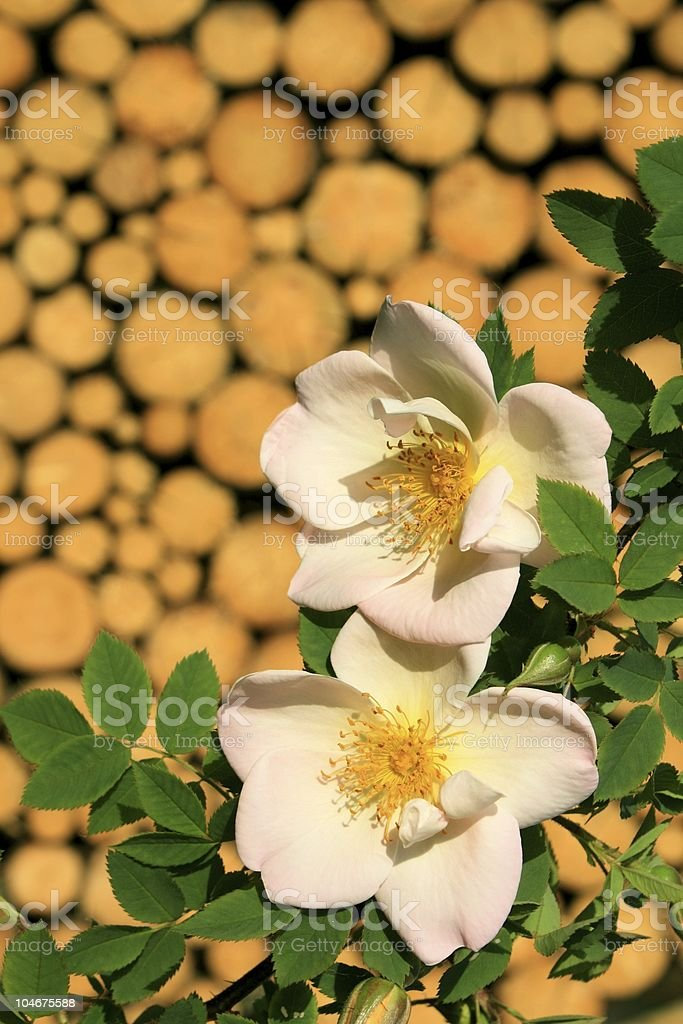 Wild rose photo libre de droits
