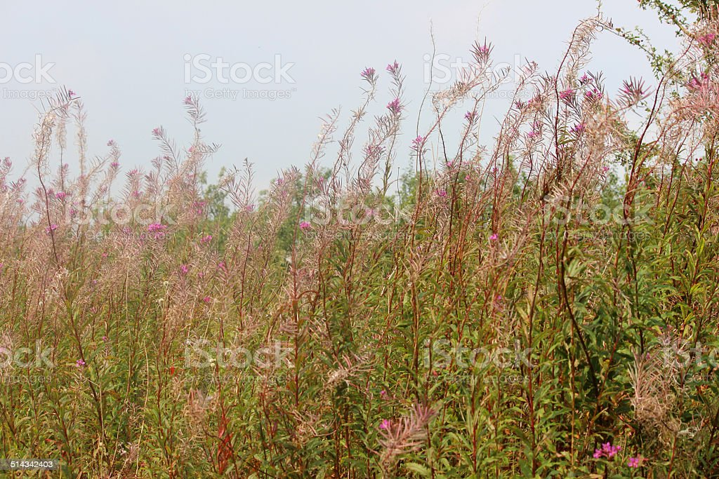 Wild rosebay willow herb in countryside, seed heads, garden weed stock photo