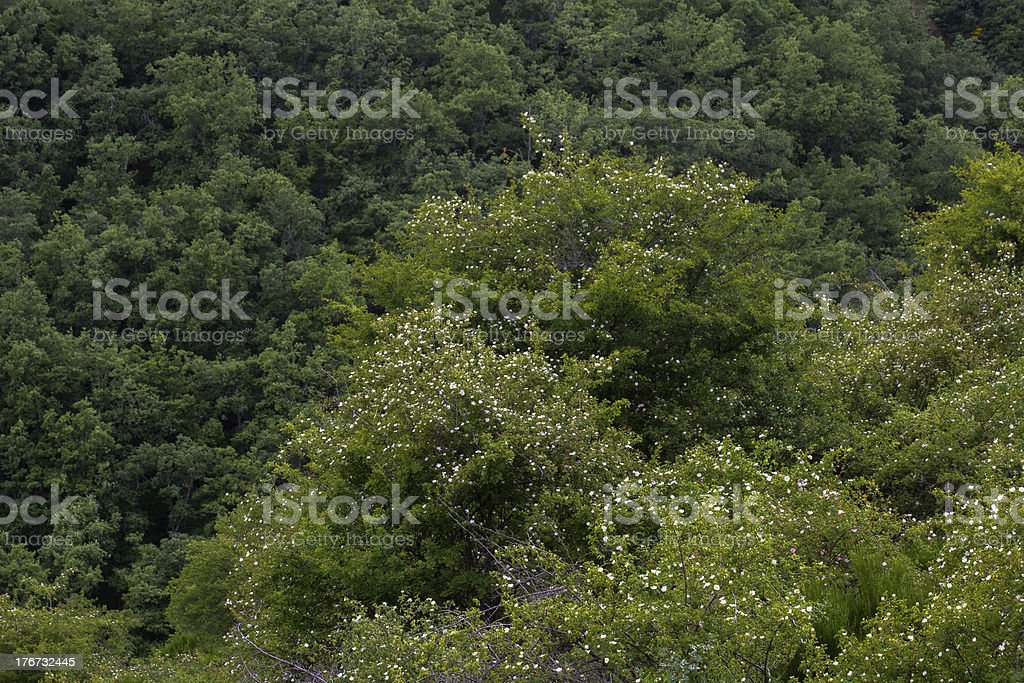 Wild roses in Oak Forest - Rosas silvestres en bosque royalty-free stock photo