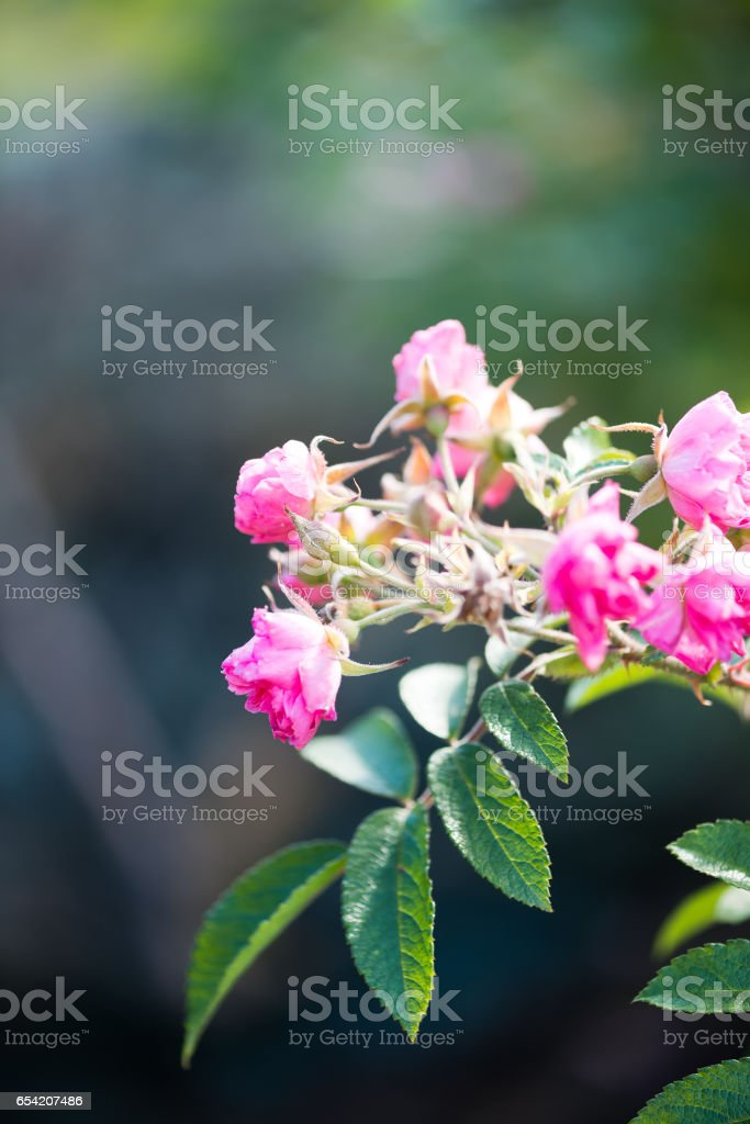 Wild roses on the branch in the garden stock photo