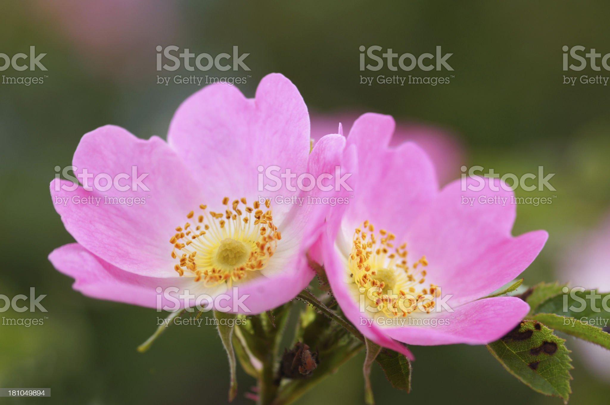 Wild roses royalty-free stock photo