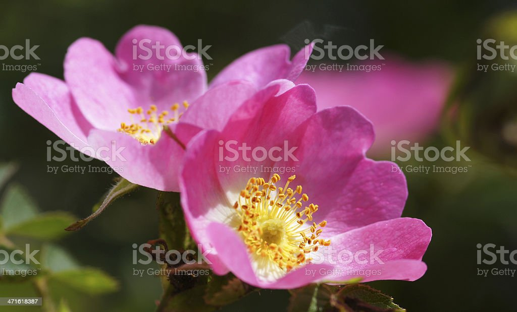 Wild roses royalty-free stock photo