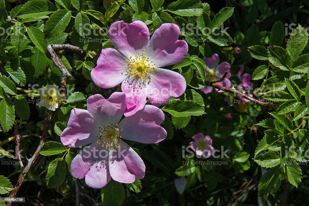 Shrub (pink) - Wikipedia, the free encyclopedia