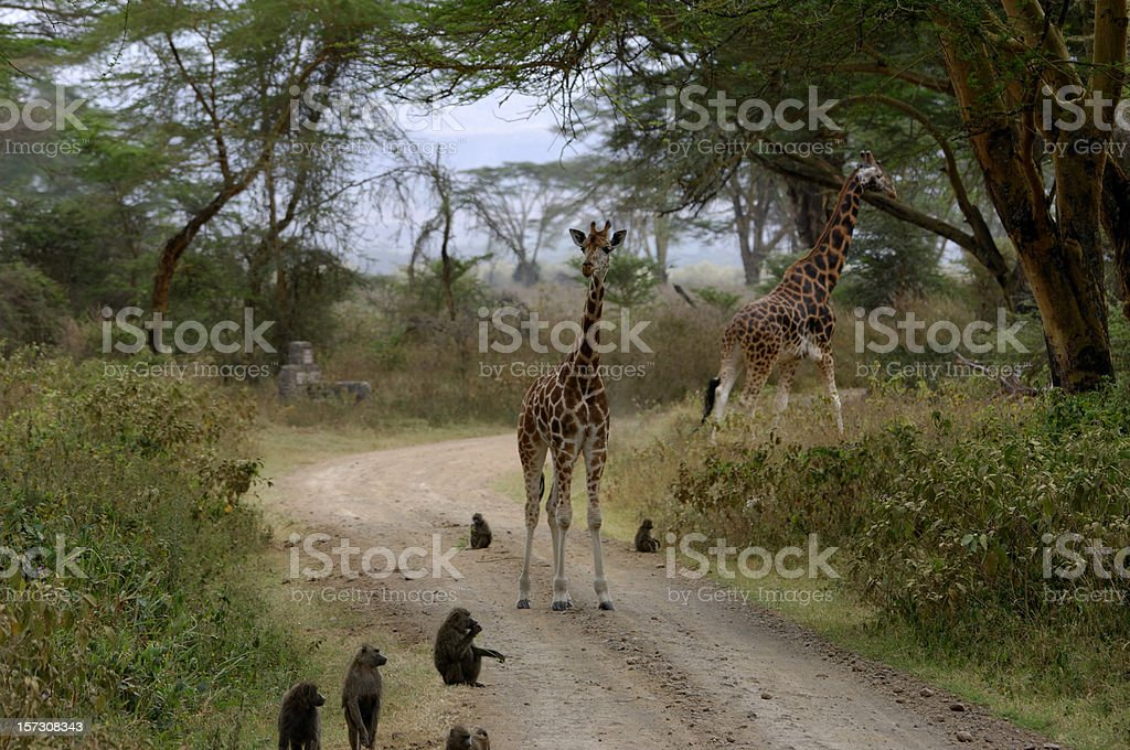 Wild Rothschild Giraffes and Baboons stock photo