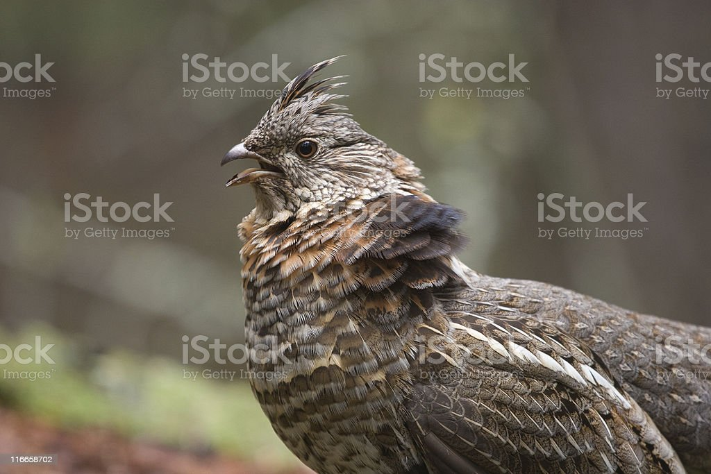 Wild ruffed grouse, spring mating season, with puffed-up feathers stock photo