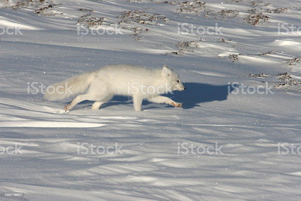 Wild running Arctic fox on snow covered tundra Hudson Bay stock photo
